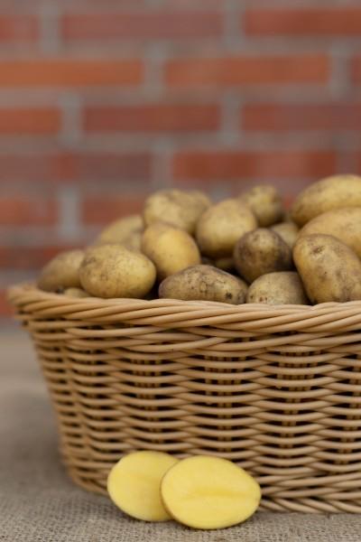 Kartoffel - Sorte Belana III (Drillinge, festkochend)