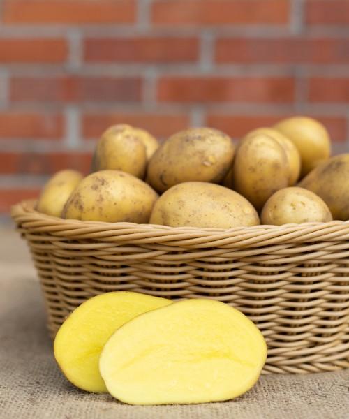 Kartoffel - Sorte Regina (festkochend)