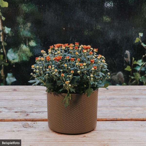 Chrysantheme – orange – klein