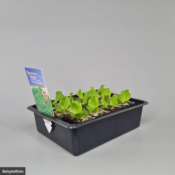 "Pflücksalat – Lollo Bionda ""Lorenzo"" - Jungpflanzen-Schale"