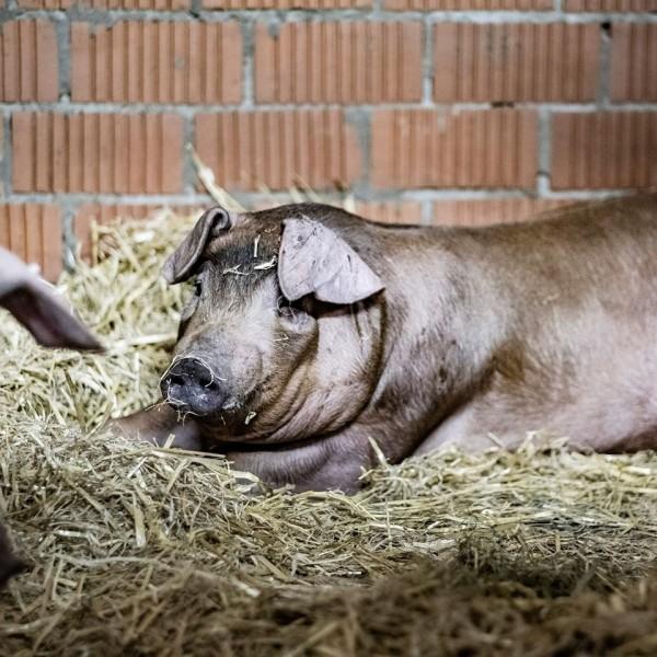BUURLOS Bratwurst vom Schwein