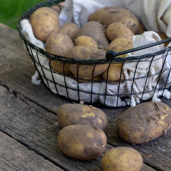 "Kartoffeln Frühkartoffel ""Glorietta"" festkochend"