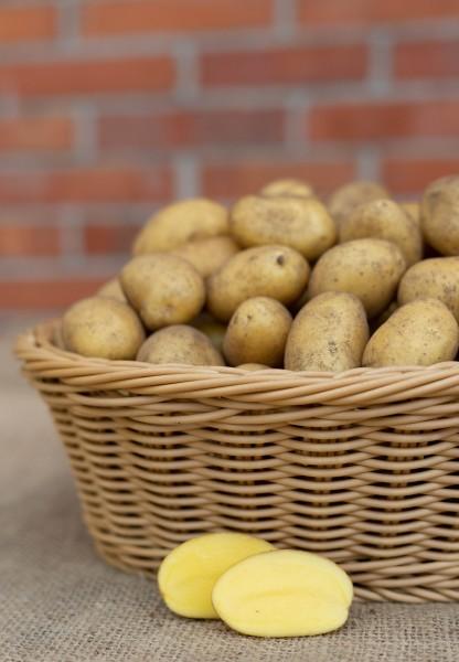 Kartoffel - Sorte Belana II (Drillinge, festkochend)