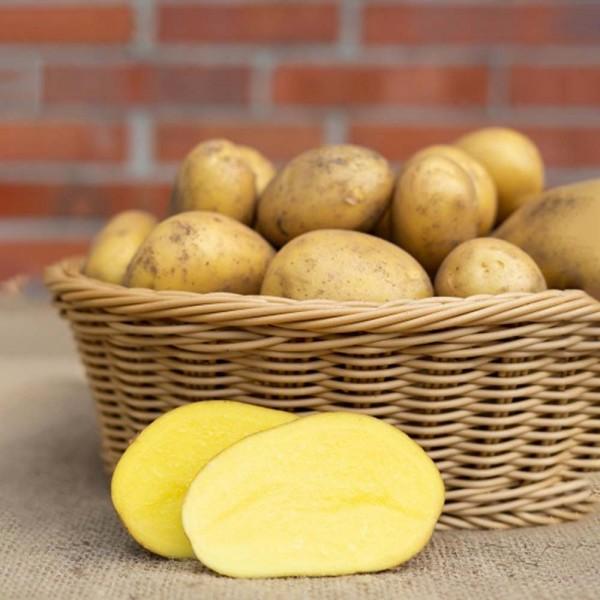 Kartoffel Glorietta