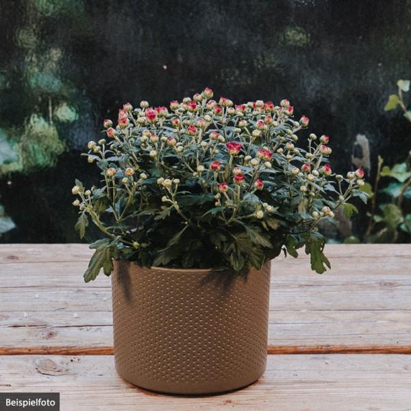 Chrysantheme – pink – klein
