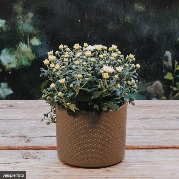 Chrysantheme – weiß – klein