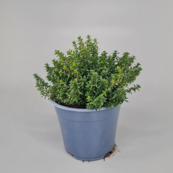 Gartenkräuter - Thymian