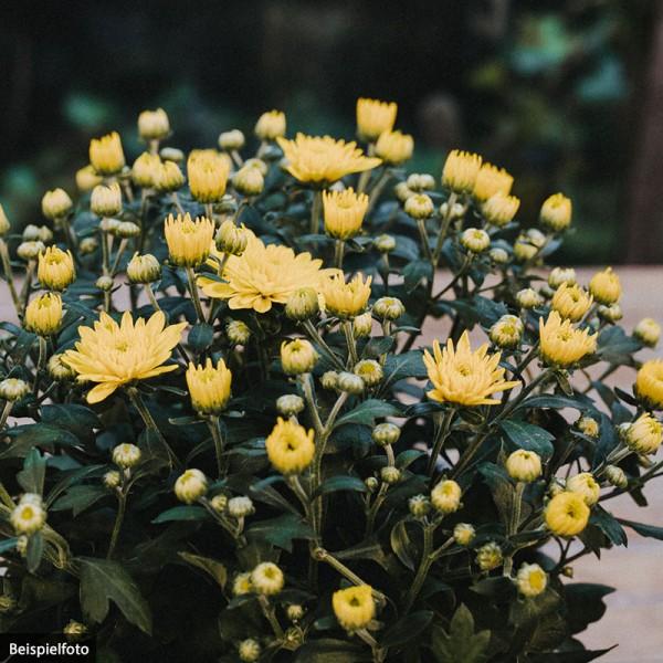 Chrysantheme – gelb – klein