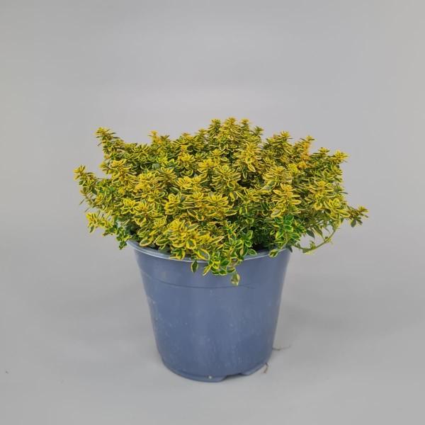 Gartenkräuter - Zitronen-Thymian